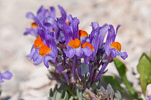 Alpine Toadflax (Linaria alpina) in flower, Campo Imperatore, Gran Sasso, Appennines, Abruzzo, Italy, May - Paul Harcourt Davies