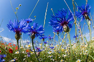 Cornflowers (Centaurea cyanus) in fallow fields, near Sugano, Orvieto, Italy, June  -  Paul Harcourt Davies,Paul  Harcourt Davies