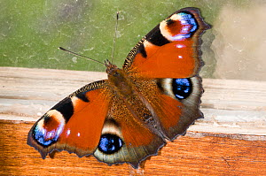Peacock butterfly (Inachis io) resting against a wood shed window, Orvieto, Italy, June - Paul Harcourt Davies,Paul  Harcourt Davies