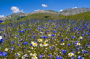 Cornflowers (Centaurea cyanus) and Mayweed (Anthemis) on the Piano Grande, Umbria, Italy, June 2010  -  Paul Harcourt Davies,Paul  Harcourt Davies