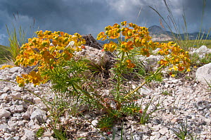 Cypress Spurge (Euphorbia cyparissias) in flower, Campo Imperatore, Gran Sasso, Appennines, Abruzzo, Italy, June  -  Paul Harcourt Davies
