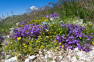 Basil Thyme (Acinos arvensis) in flower, with Forget me nots (Myotis sp) and other alpin flowers, Mount Vettore, Sibillini, Umbria, Italy, June  -  Paul Harcourt Davies