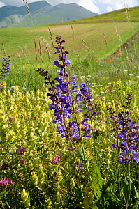 Yellow rattle (Rhinanthus minor) and Meadow clary (Salvia pratense) in flower, Sibillini, Umbria, Italy, June  -  Paul Harcourt Davies