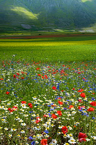 Floral colour in fields on the Piano Grande from Poppies (Papaver rhoeas), Cornflowers (Centaurea), Mustard (Brassica) and Mayweed (Anthemis), Umbria, Italy, June  -  Paul  Harcourt Davies