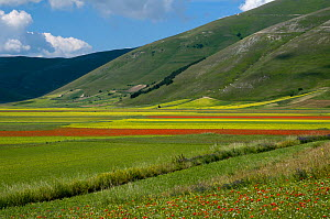 Floral colour in fields on the Piano Grande from Poppies (Papaver rhoeas) and Mustard (Brassica) Italy, June 2010 - Paul Harcourt Davies