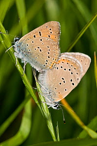 Purple-edged copper butteflies (Lycaena hippothoe) mating pair,  Sibillini, Umbria, Italy, June  -  Paul Harcourt Davies