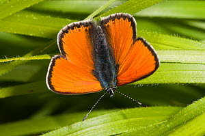 Scarce Copper (Lycaena virgaureae) male, dorsal view, resting on leaves, above Piano Grande, Sibillini, Umbria, Italy, June  -  Paul Harcourt Davies