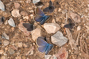 Small blue butterflies (Cupido minimus) resting on ground, Vallesiana, Madonna di Campiglio, Italy, July  -  Paul Harcourt Davies