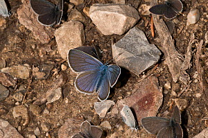 Small blue butterfly (Cupido minimus) resting on the ground, Vallesiana, Madonna di Campiglio, Italy, July  -  Paul Harcourt Davies