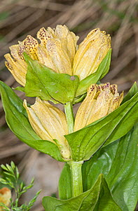 Spotted gentian (Gentiana punctata) in flower, above Pordoi pass, Dolomites. Italy, July  -  Paul Harcourt Davies