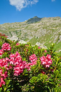 Alpenrose (Rhododendron ferrugineum) in flower,  Lago Ritorto, Madonna di Campiglio, on acid rocks of Adamello Range, Dolomites, Italy, July 2010  -  Paul Harcourt Davies