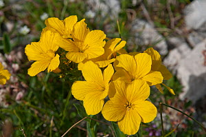 Yellow Flax (Linum capitatum) in flower, in canyon on Campo Imperatore, Gran Sasso, Appennines, Abruzzo, Italy  -  Paul Harcourt Davies