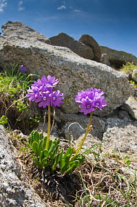Viscid Primrose (Primula latifolia) in flower, above Lago Ritorto, Madonna di Campiglio, on acid rocks of Adamello Range, Dolomites, Italy  -  Paul Harcourt Davies