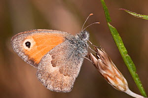 Small Heath butterfly (Coenonympha pamphilus) Podere Montecuccco, near Orvieot, Umbria, Italy, July - Paul Harcourt Davies
