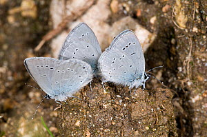 Little blue butterflies (Cupido minimus) drinking on animal droppings in a mineral-rich seepage, Sibillini, Norcia, Umbria, Italy, July  -  Paul Harcourt Davies