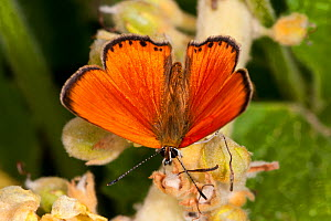 Scarce Copper butterfly (Lycaena virgaureae) male, dorsal view, Campo Imperatore, Gran Sasso, Appennines, Abruzzo, Italy, July  -  Paul Harcourt Davies