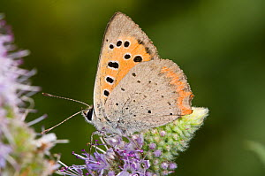 Small copper butterfly (Lycaena phlaeas) on flower, with wings closing, La Renara, Orvieto, Umbria, Italy, July - Paul Harcourt Davies