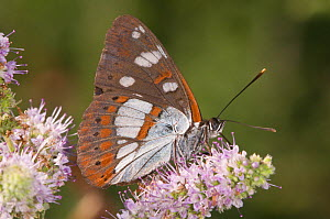 Southern White Admiral butterfly (Limenitis reducta) feeding, Podere Montecucco, Orvieto, Umbria, Italy, July  -  Paul Harcourt Davies