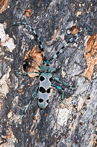 Alpine Longhorn Beetle (Rosalia alpina) a rare and protected longhorn beetle living on rotten chestnut trunks in the Italian Appennines, Camosciara, Italy, July - Paul Harcourt Davies