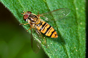Hoverfly (Episyrphus balteatus) on leaf .Podere Montecucco, near Orvieto, Umbria, Italy, July - Paul Harcourt Davies
