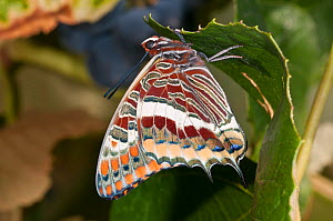 Two-tailed Pasha butterfly (Charaxes jasius) resting on leaf, Podere Montecucco. Orvieto, Umbria, Italy, August  -  Paul Harcourt Davies
