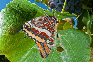 Two-tailed Pasha butterfly (Charaxes jasius) resting on leaf, Podere Montecucco. Orvieto, Umbria, Italy August  -  Paul Harcourt Davies