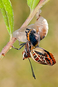 Emergence of Two-tailed Pasha butterfly  (Charaxes jasius) Podere Montecucco. Orvieot, Umbria, Italy August. Sequence 5 of 9  -  Paul Harcourt Davies