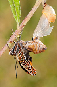 Emergence of Two-tailed Pasha butterfly (Charaxes jasius) Podere Montecucco. Orvieot, Umbria, Italy August. Sequence 7 of 9  -  Paul Harcourt Davies