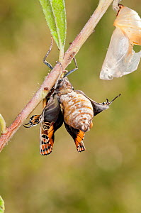 Emergence of Two-tailed Pasha butterfly (Charaxes jasius) Podere Montecucco. Orvieot, Umbria, Italy August. Sequence 8 of 9  -  Paul Harcourt Davies