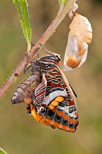 Two-tailed Pasha butterfly (Charaxes jasius) expanding wings after emerging, Podere Montecucco. Orvieot, Umbria, Italy August. Sequence 9 of 9 - Paul Harcourt Davies