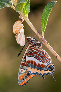 Newly emerged adult Two-tailed Pasha butterfly (Charaxes jasius) Podere Montecucco. Orvieto, Umbria, Italy August - Paul  Harcourt Davies