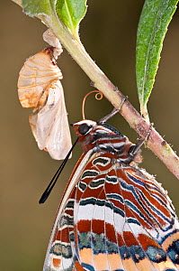 Newly emerged adult  Two-tailed Pasha butterfly  (Charaxes jasius) Podere Montecucco. Orvieot, Umbria, Italy August  -  Paul Harcourt Davies