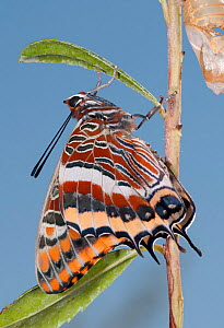 Newly emerged adult Two-tailed Pasha (Charaxes jasius) Podere Montecucco. Orvieot, Umbria, Italy August  -  Paul Harcourt Davies