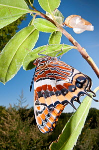 Newly emerged adult Two-tailed Pasha (Charaxes jasius) Podere Montecucco. Orvieto, Umbria, Italy August  -  Paul  Harcourt Davies