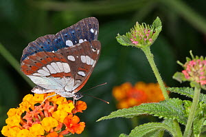 Southern White Admiral butterfly (Limenitis reducta) female. Podere Montecucco, near Orvieto, Umbria, Italy, August  -  Paul Harcourt Davies