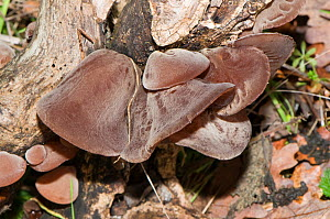 Jew's Ear fungus (Auricularia auricula-judae) growing in woodland, Orvieto, Umbira, Italy, August - Paul Harcourt Davies