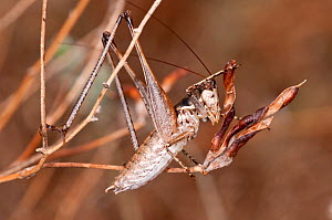 White-faced bush cricket (Decticus albiforns) Sardinia, Italy, September  -  Paul Harcourt Davies