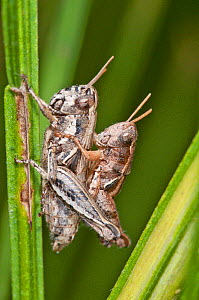 Short-horned grasshoppers (Calliptamus italicus) mating, showing sexual dimorphism, Pescia Romana, Tarquinia, Umbria, Italy, September  -  Paul  Harcourt Davies