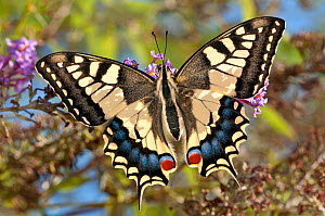 Common Swallowtail butterfly (Papilio machaon) backlit, Podere Montecucco, Orvieto, Umbria, Italy, September  -  Paul Harcourt Davies