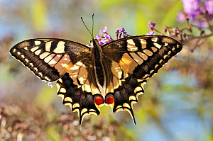 Common Swallowtail butterfly (Papilio machaon) backlit showing wing structure. Podere Montecucco, Orvieto, Umbria, Italy, October  -  Paul Harcourt Davies,Paul  Harcourt Davies