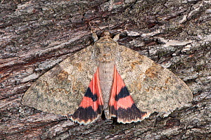 Red Underwing moth (Catocala nupta) resting on bark, Podere Montecucco, Orvieto, Umbria. Italy, September  -  Paul Harcourt Davies