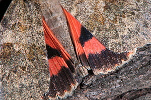 Red Underwing moth (Catocala nupta) wing detail showing warning coloration. Podere Montecucco, Orvieto, Umbria. Italy, September - Paul Harcourt Davies
