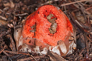 Basket Stinkhorn (Clathrus ruber) a fungus resembling and smelling of rotten flesh, near Castel Giorgio, Orvieto, Umbria, Italy, October  -  Paul Harcourt Davies