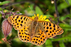 Queen of Spain fritillary butterfly (Isoria lathonia) female, Podere Montecucco, Orvieto, Umbria, Italy, October  -  Paul Harcourt Davies