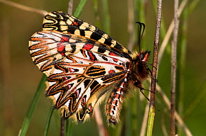 Southern Festoon butterfly (Zerynthia polyxena) showing the pattern on the underwings. Torrealfina, Orvieto, Umbria, Italy, April  -  Paul Harcourt Davies