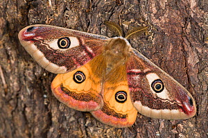 Emperor Moth (Saturnia pavoniella) male, on tree bark, Orvieto, Umbria, Italy, April  -  Paul  Harcourt Davies