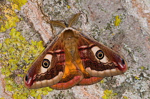 Emperor Moth (Saturnia pavoniella) male with wings closed, Orvieto, Umbria, Italy, April  -  Paul Harcourt Davies