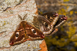 Emperor Moth (Saturnia pavoniella) male female pair, male on left and female on right of the photograph, Orvieto, Umbria, Italy, April  -  Paul Harcourt Davies