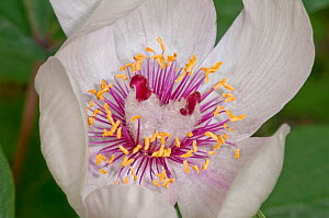 Male peony (Paeonia mascula) close up of  flower, white variety found in North East Sicily, Bosco di Ficuzza, Palermo, Sicily, May  -  Paul Harcourt Davies