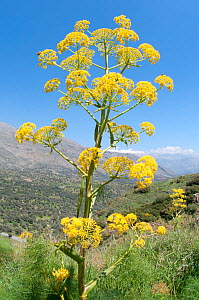 Giant fennel (Ferula communis) in flower, Gious Kambos, Spili, Crete, April  -  Paul Harcourt Davies